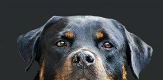 Rottweiler Life